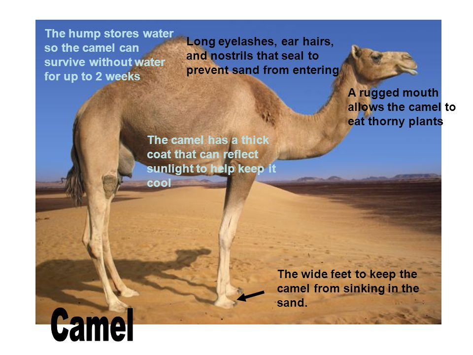 The hump stores water so the camel can survive without water for up to 2 weeks
