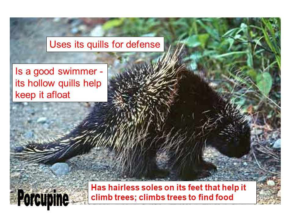 Porcupine Uses its quills for defense