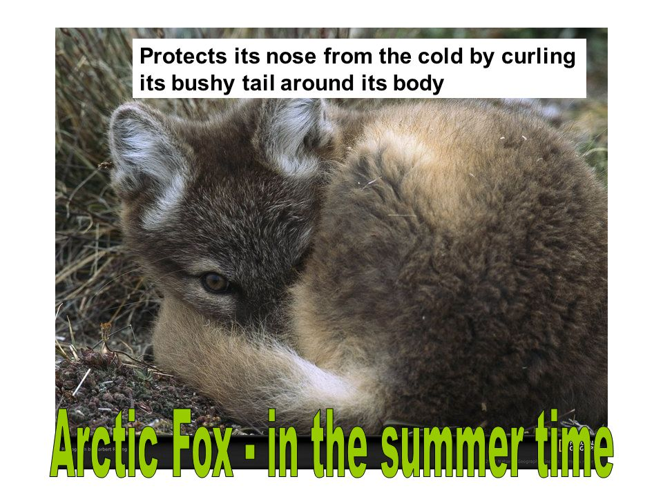 Arctic Fox - in the summer time