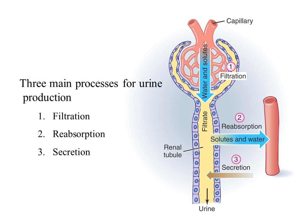 Three main processes for urine production