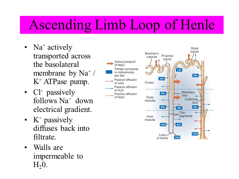 Ascending Limb Loop of Henle