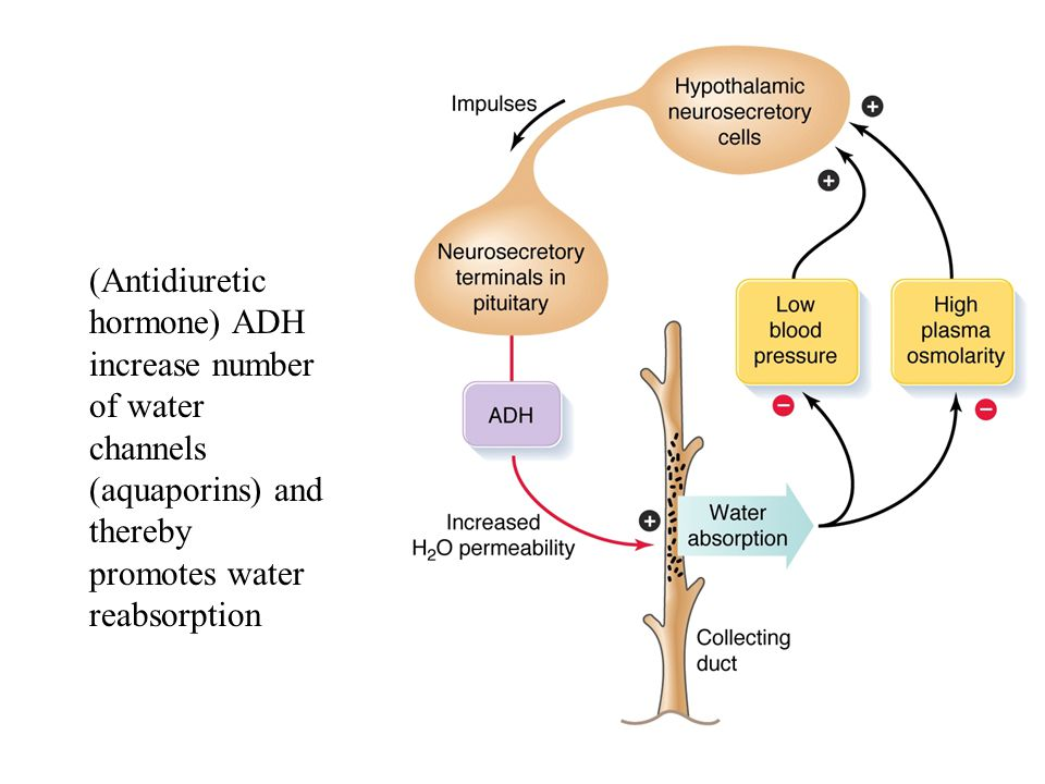 (Antidiuretic hormone) ADH increase number of water channels (aquaporins) and thereby promotes water reabsorption