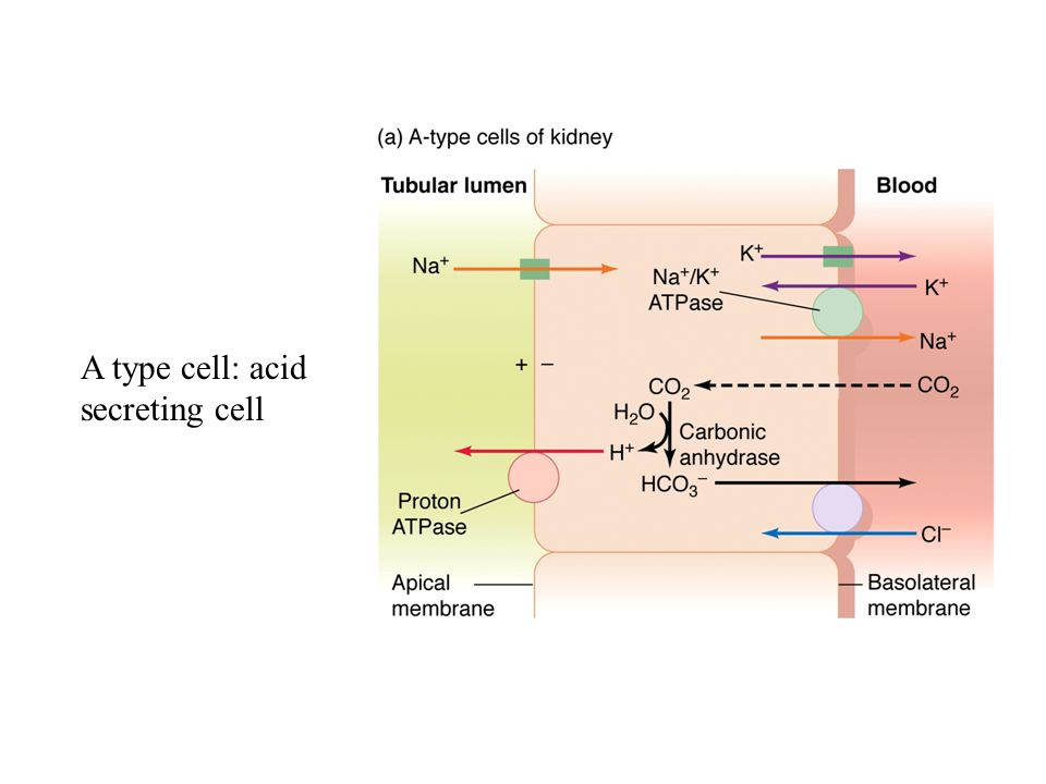 A type cell: acid secreting cell