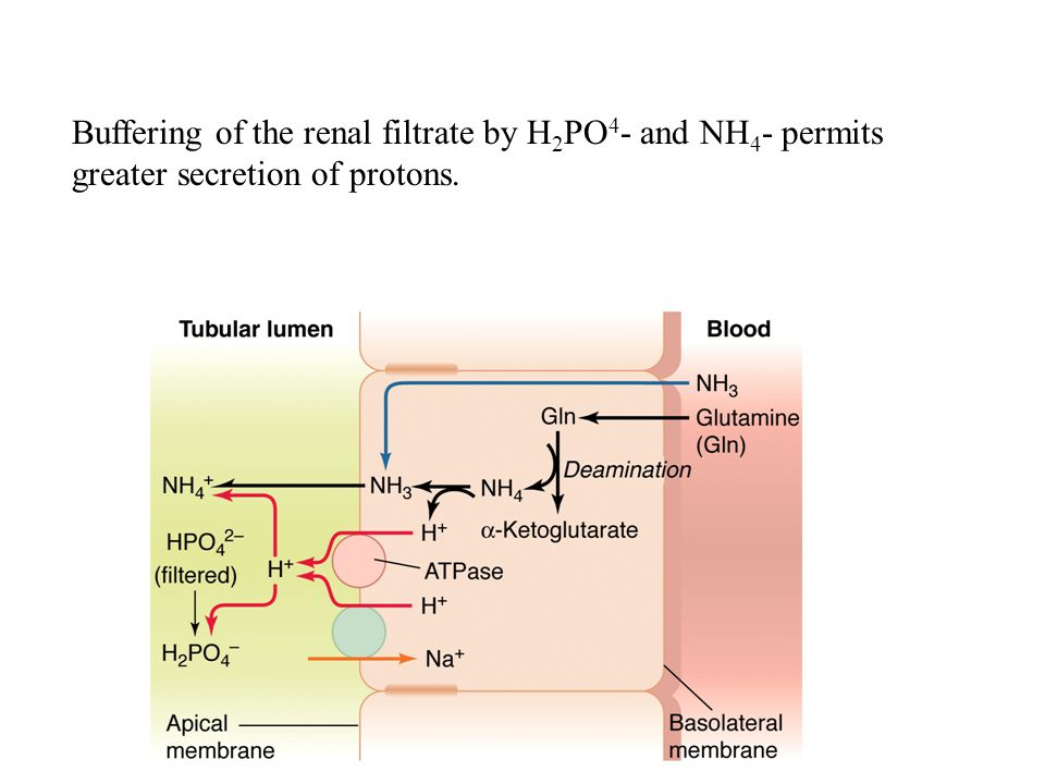 Buffering of the renal filtrate by H2PO4- and NH4- permits greater secretion of protons.