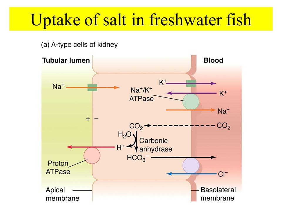 Uptake of salt in freshwater fish