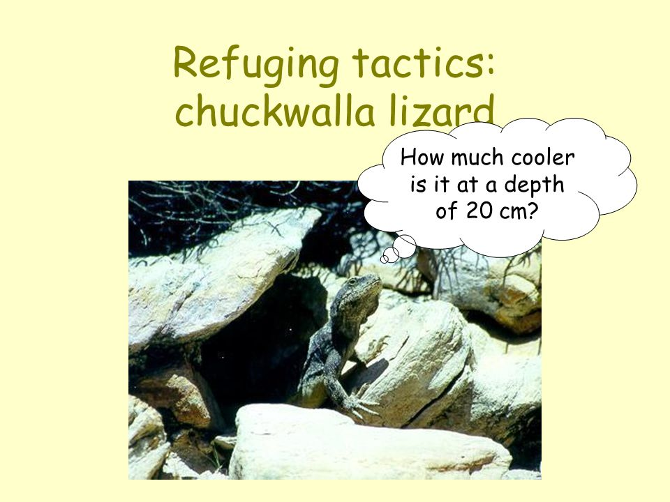 Refuging tactics: chuckwalla lizard