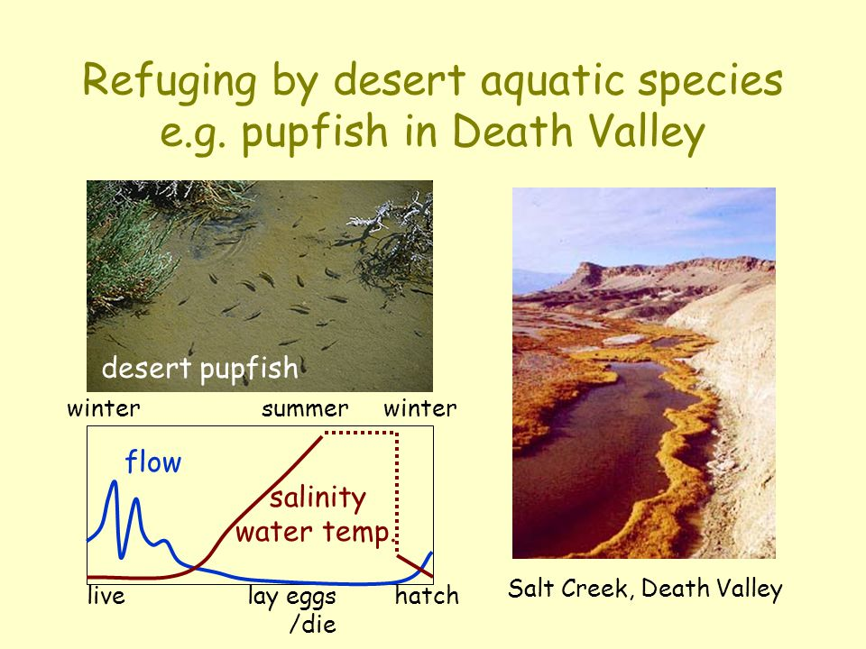 Refuging by desert aquatic species e.g. pupfish in Death Valley