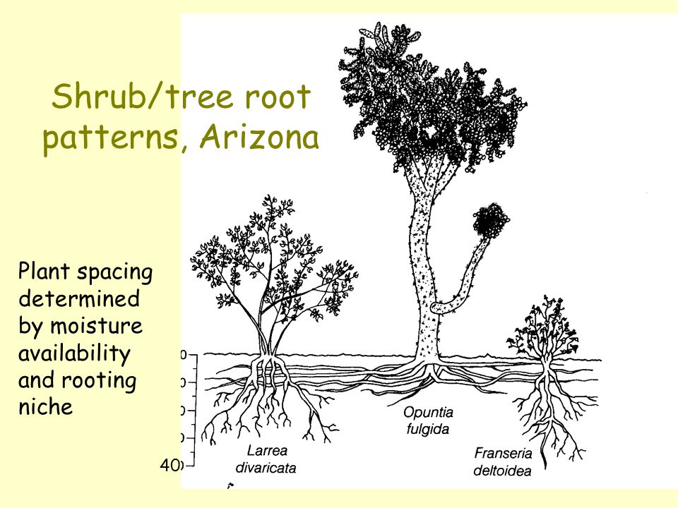 Shrub/tree root patterns, Arizona