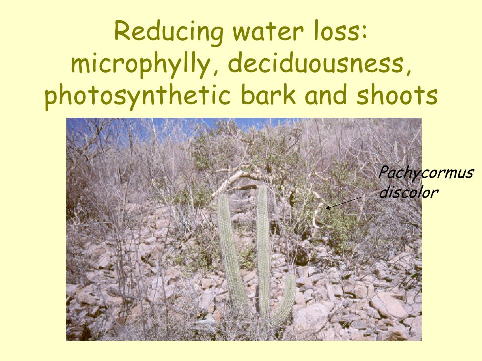 Reducing water loss: microphylly, deciduousness, photosynthetic bark and shoots