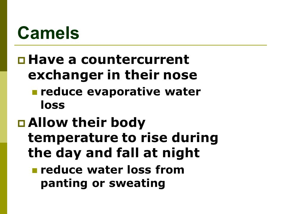 Camels Have a countercurrent exchanger in their nose