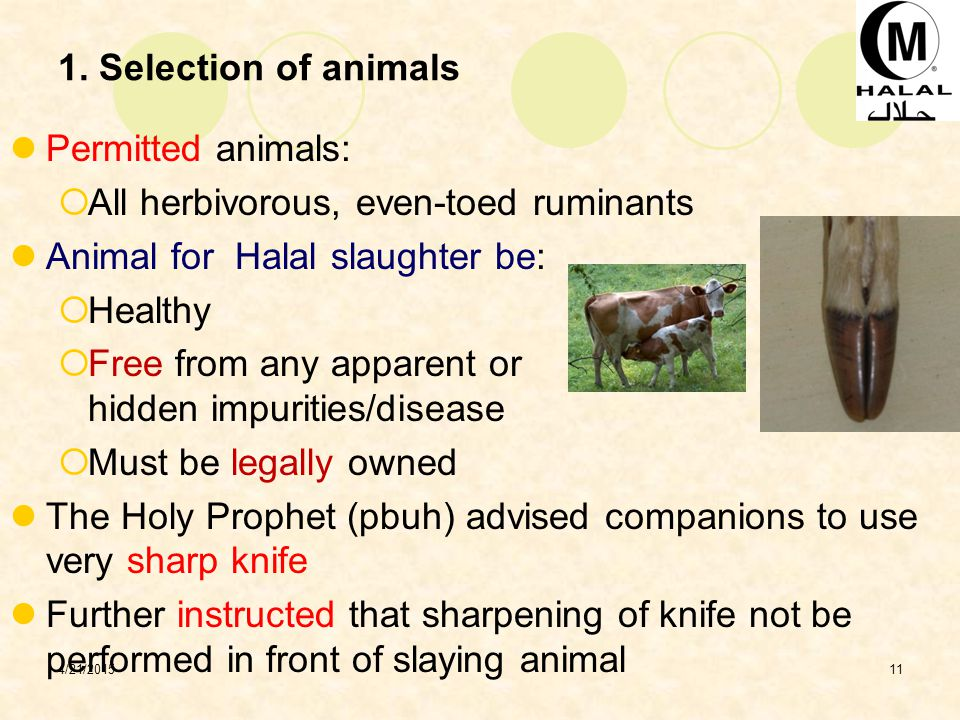 All herbivorous, even-toed ruminants Animal for Halal slaughter be: