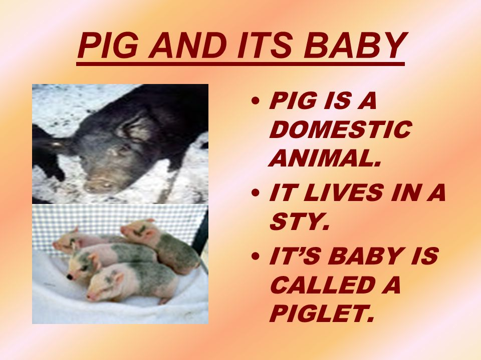 PIG AND ITS BABY PIG IS A DOMESTIC ANIMAL. IT LIVES IN A STY.