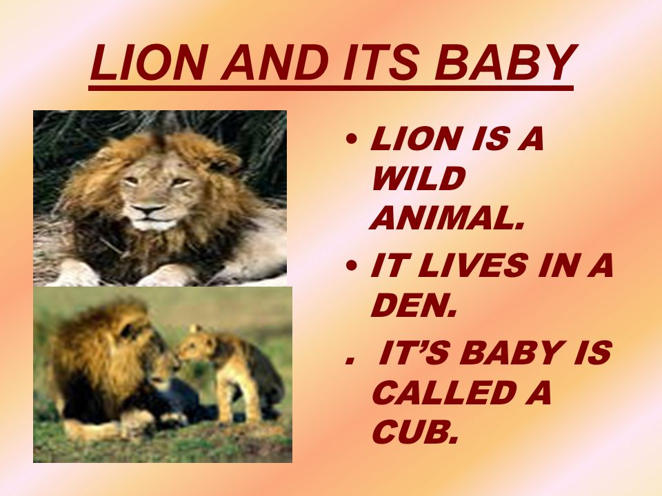 LION AND ITS BABY LION IS A WILD ANIMAL. IT LIVES IN A DEN.