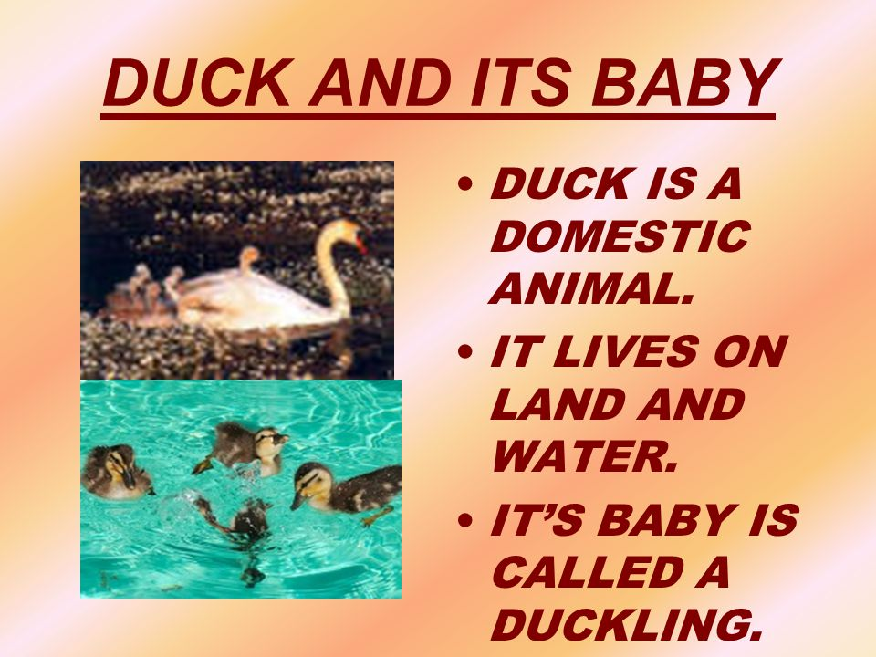 DUCK AND ITS BABY DUCK IS A DOMESTIC ANIMAL.
