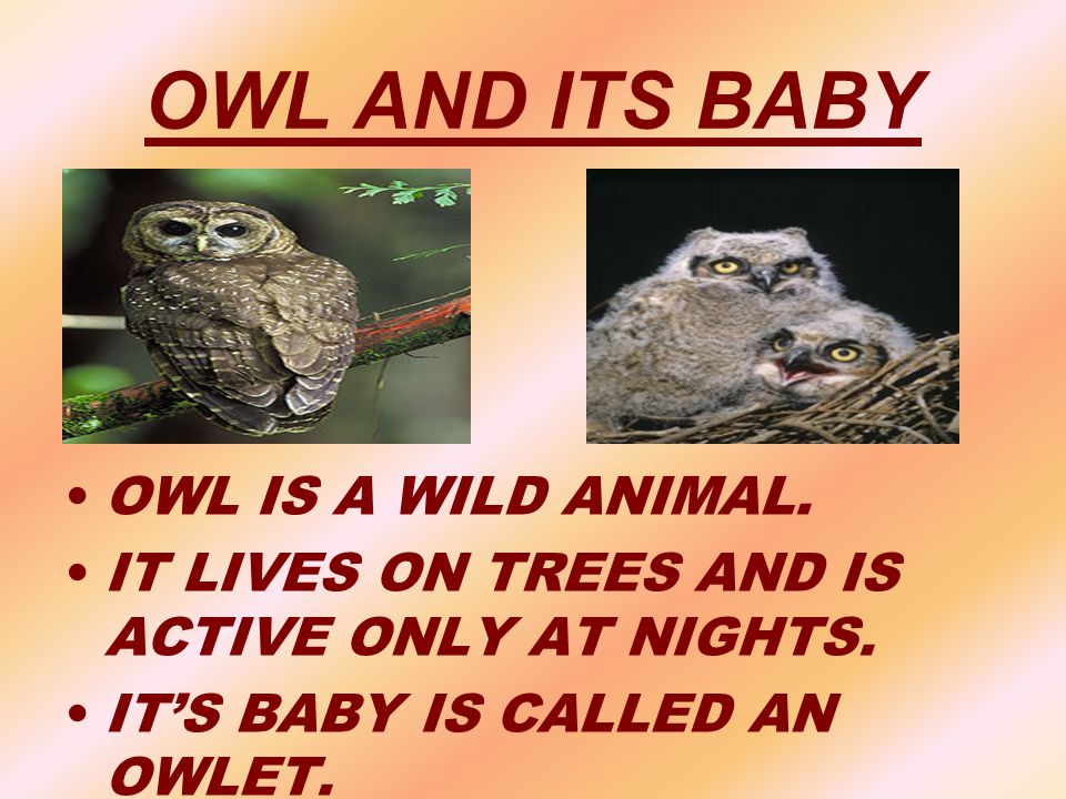 OWL AND ITS BABY OWL IS A WILD ANIMAL.
