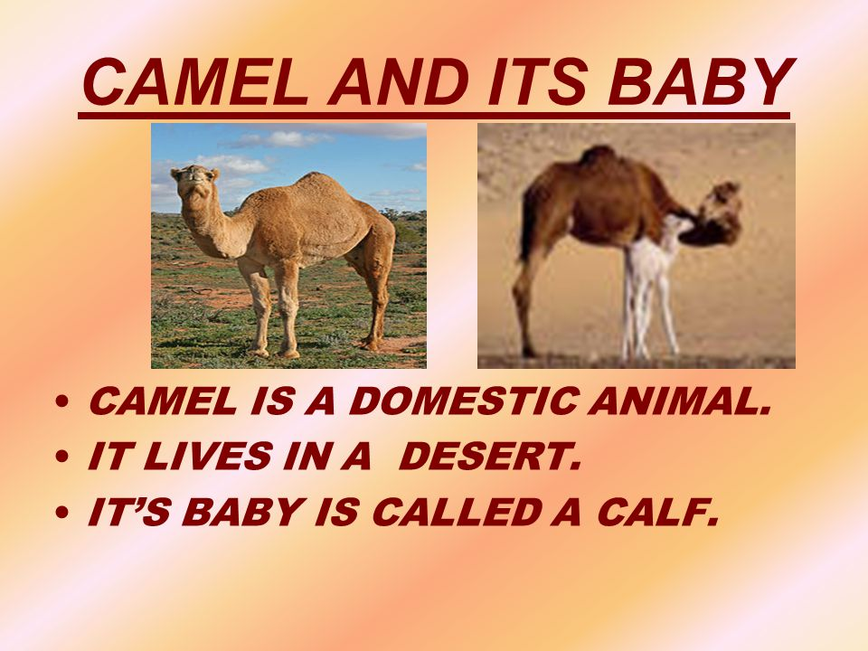 CAMEL AND ITS BABY CAMEL IS A DOMESTIC ANIMAL. IT LIVES IN A DESERT.