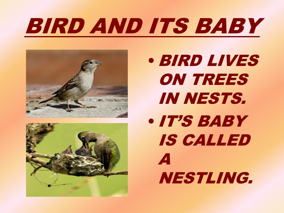 BIRD AND ITS BABY BIRD LIVES ON TREES IN NESTS.