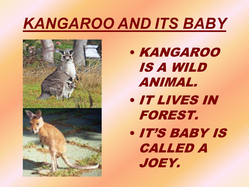 KANGAROO AND ITS BABY KANGAROO IS A WILD ANIMAL. IT LIVES IN FOREST.