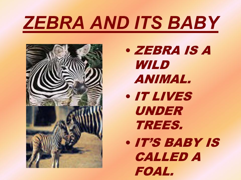 ZEBRA AND ITS BABY ZEBRA IS A WILD ANIMAL. IT LIVES UNDER TREES.