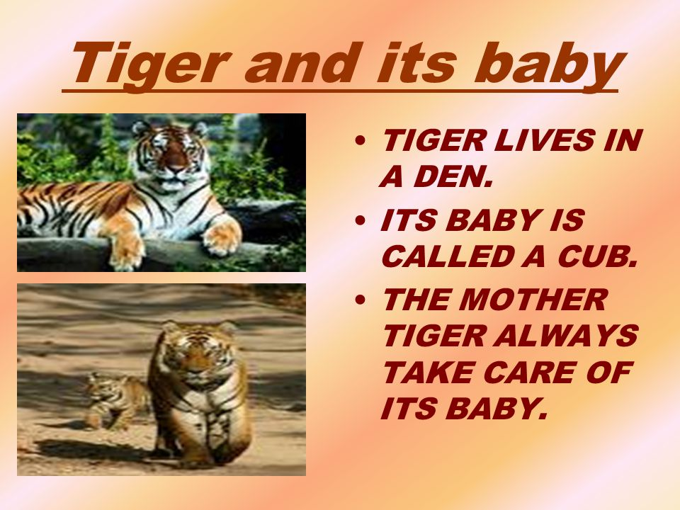 Tiger and its baby TIGER LIVES IN A DEN. ITS BABY IS CALLED A CUB.