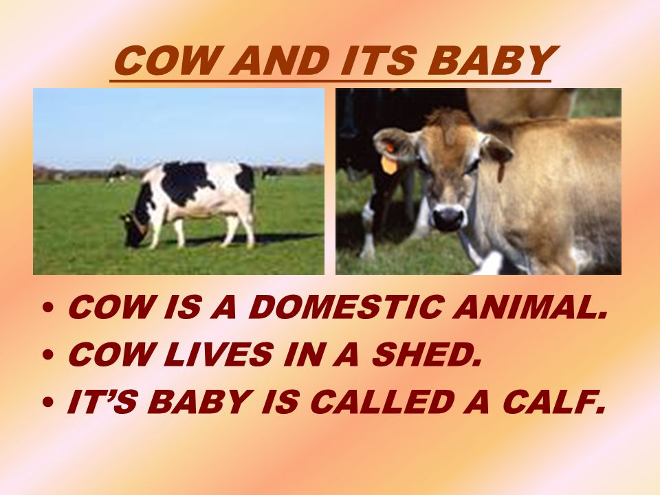 COW AND ITS BABY COW IS A DOMESTIC ANIMAL. COW LIVES IN A SHED.