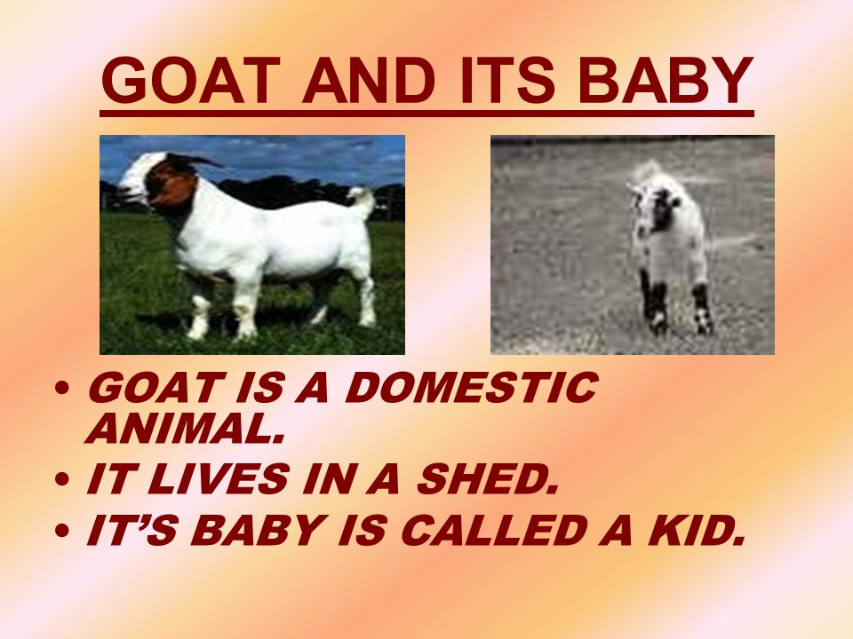 GOAT AND ITS BABY GOAT IS A DOMESTIC ANIMAL. IT LIVES IN A SHED.
