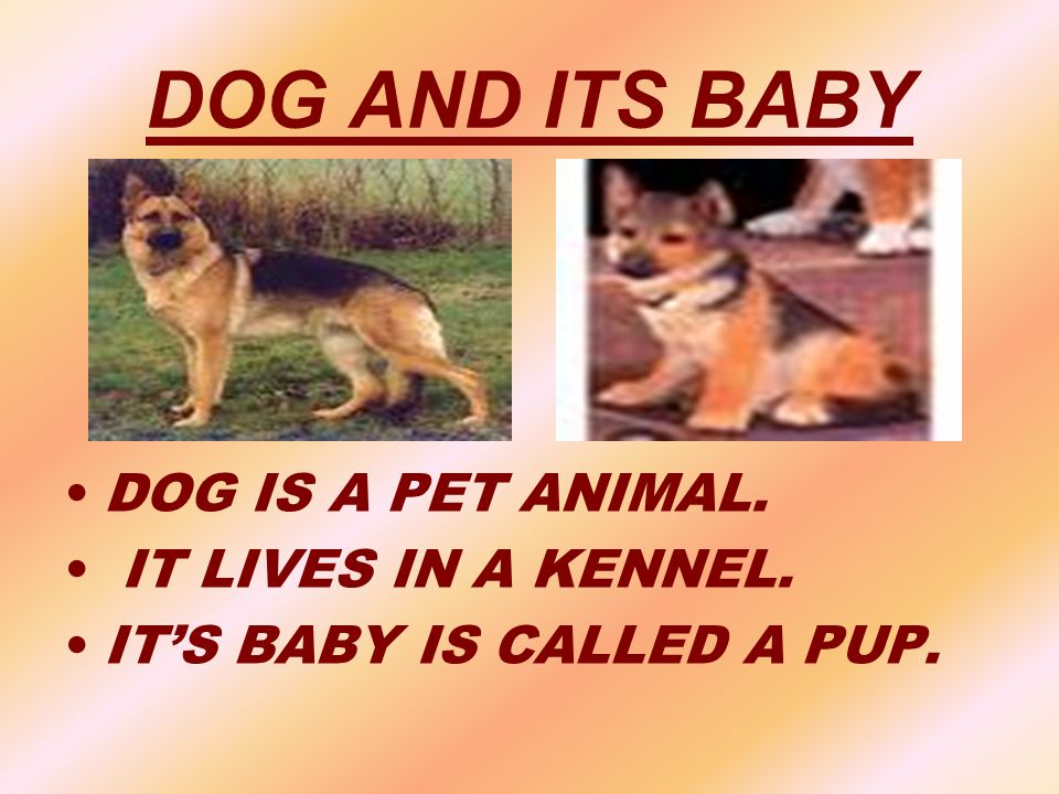 DOG AND ITS BABY DOG IS A PET ANIMAL. IT LIVES IN A KENNEL.