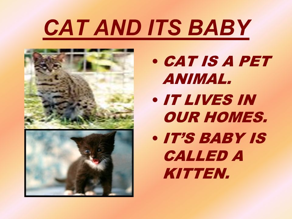 CAT AND ITS BABY CAT IS A PET ANIMAL. IT LIVES IN OUR HOMES.