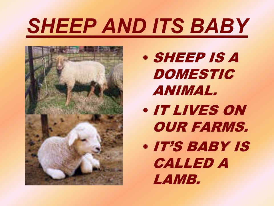 SHEEP AND ITS BABY SHEEP IS A DOMESTIC ANIMAL. IT LIVES ON OUR FARMS.