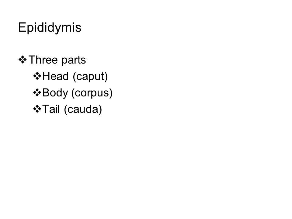 Epididymis Three parts Head (caput) Body (corpus) Tail (cauda)