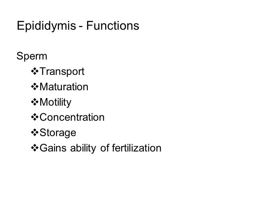 Epididymis - Functions