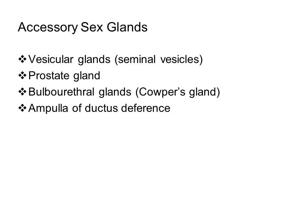 Accessory Sex Glands Vesicular glands (seminal vesicles)