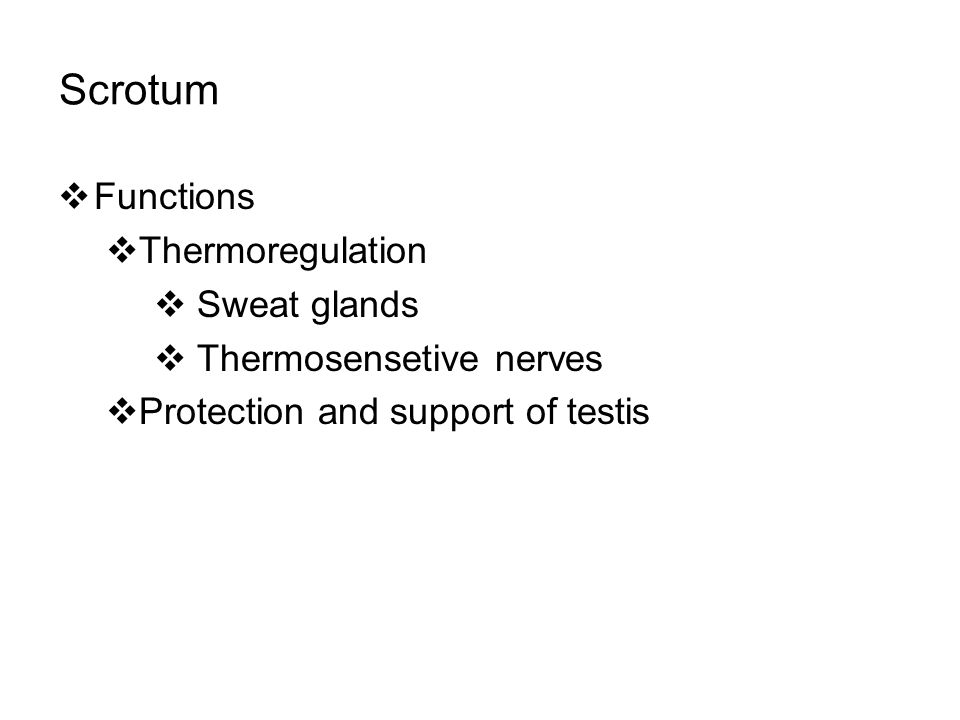 Scrotum Functions Thermoregulation Sweat glands Thermosensetive nerves