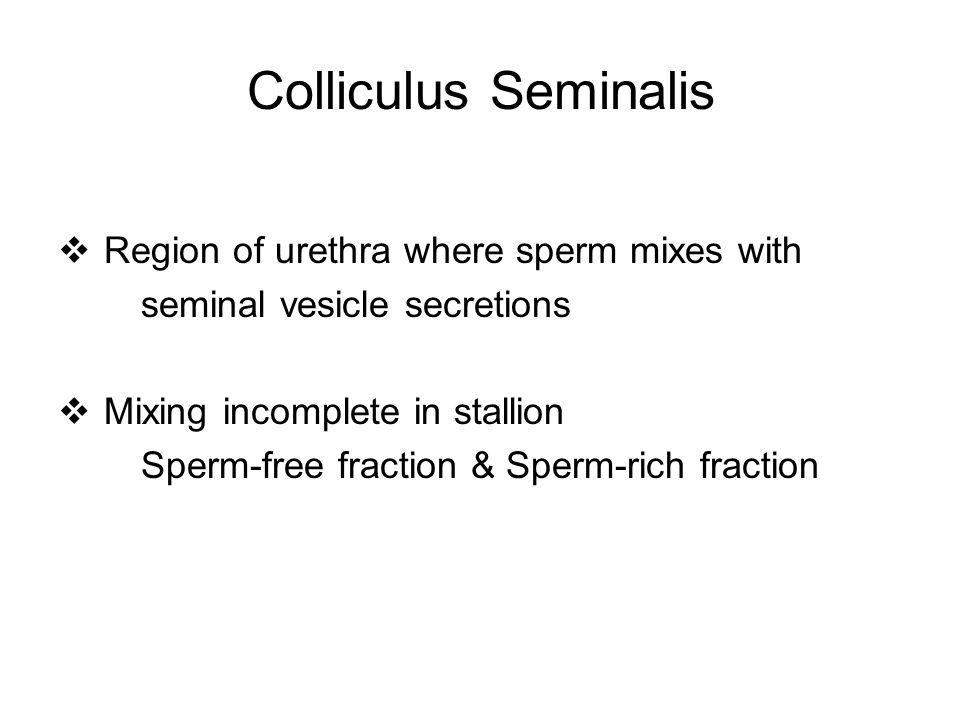 Colliculus Seminalis Region of urethra where sperm mixes with