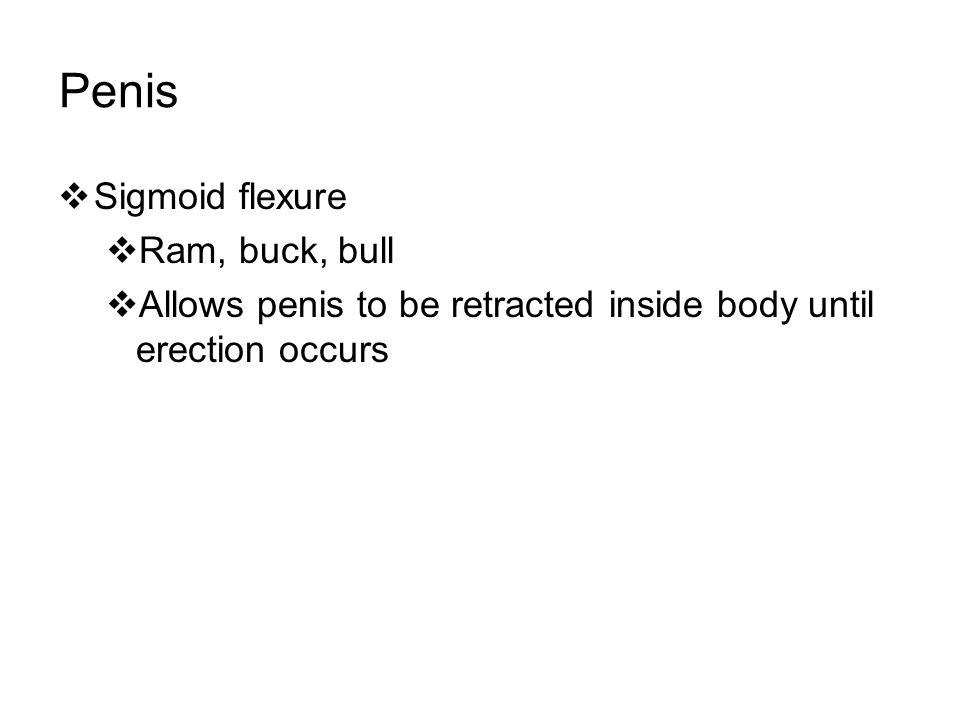 Penis Sigmoid flexure Ram, buck, bull