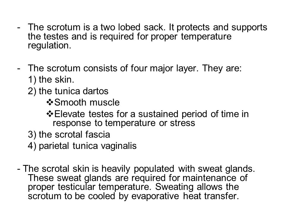 The scrotum is a two lobed sack