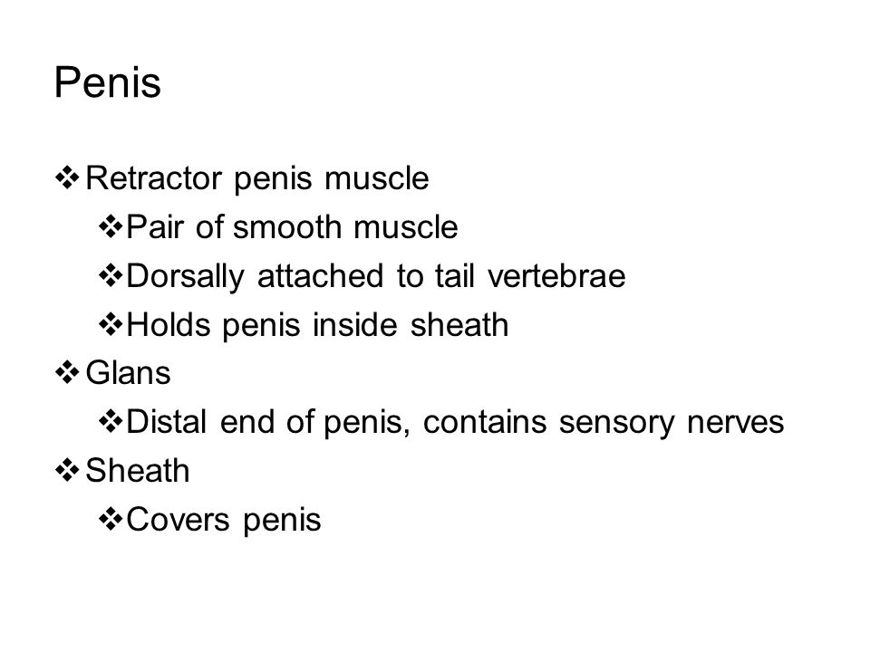 Penis Retractor penis muscle Pair of smooth muscle