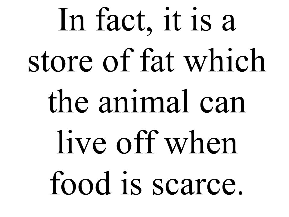In fact, it is a store of fat which the animal can live off when food is scarce.