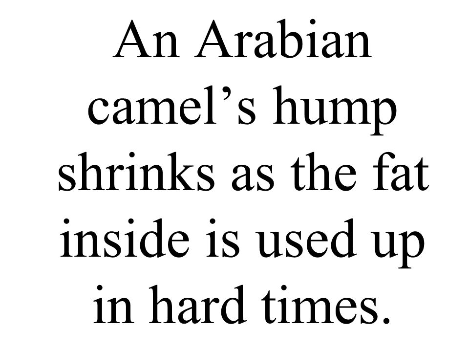 An Arabian camel's hump shrinks as the fat inside is used up in hard times.