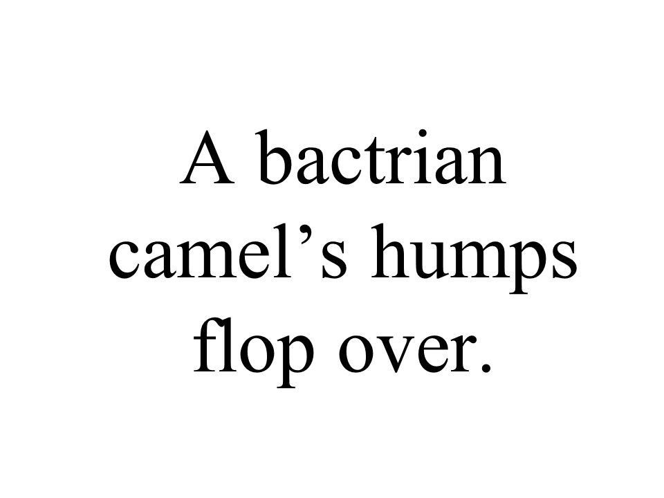 A bactrian camel's humps flop over.