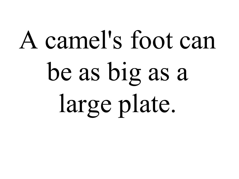 A camel s foot can be as big as a large plate.