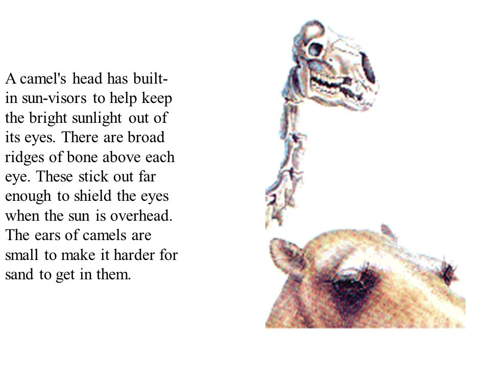 A camel s head has built-in sun-visors to help keep the bright sunlight out of its eyes.