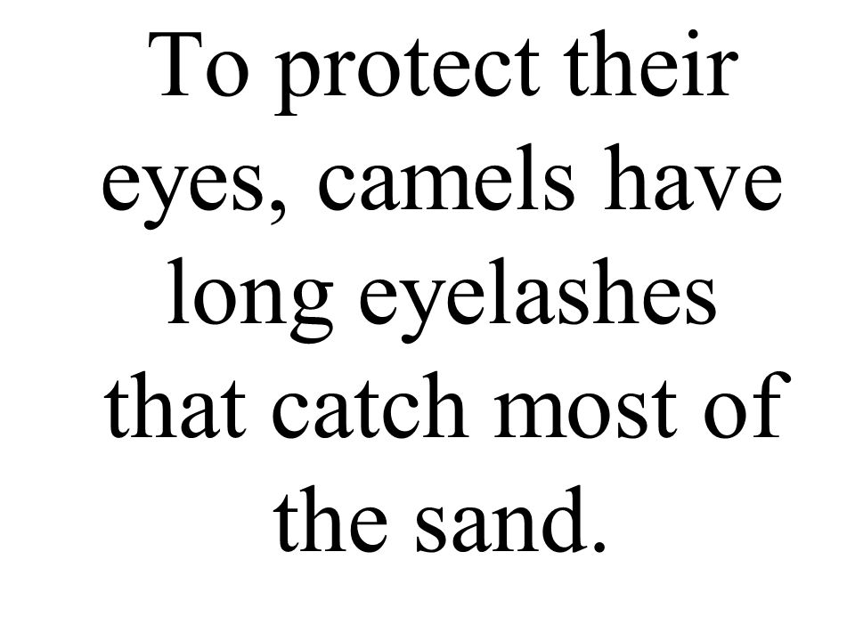 To protect their eyes, camels have long eyelashes that catch most of the sand.