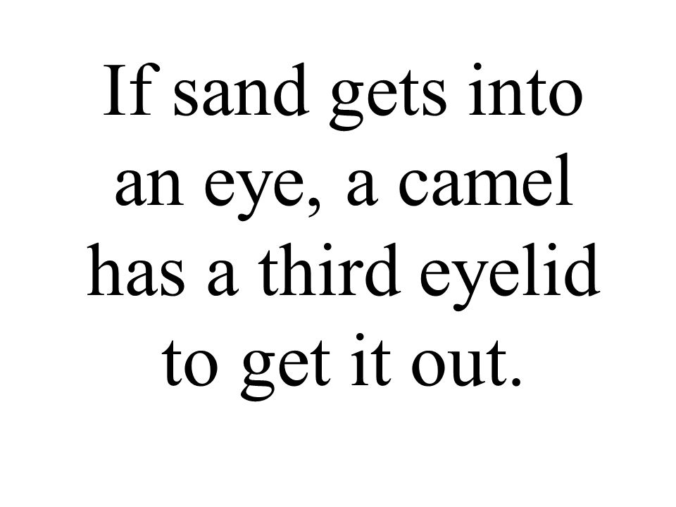 If sand gets into an eye, a camel has a third eyelid to get it out.