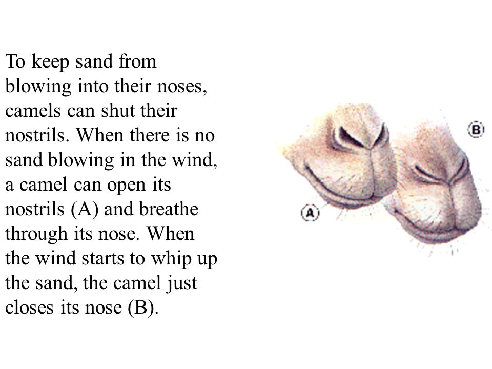 To keep sand from blowing into their noses, camels can shut their nostrils.