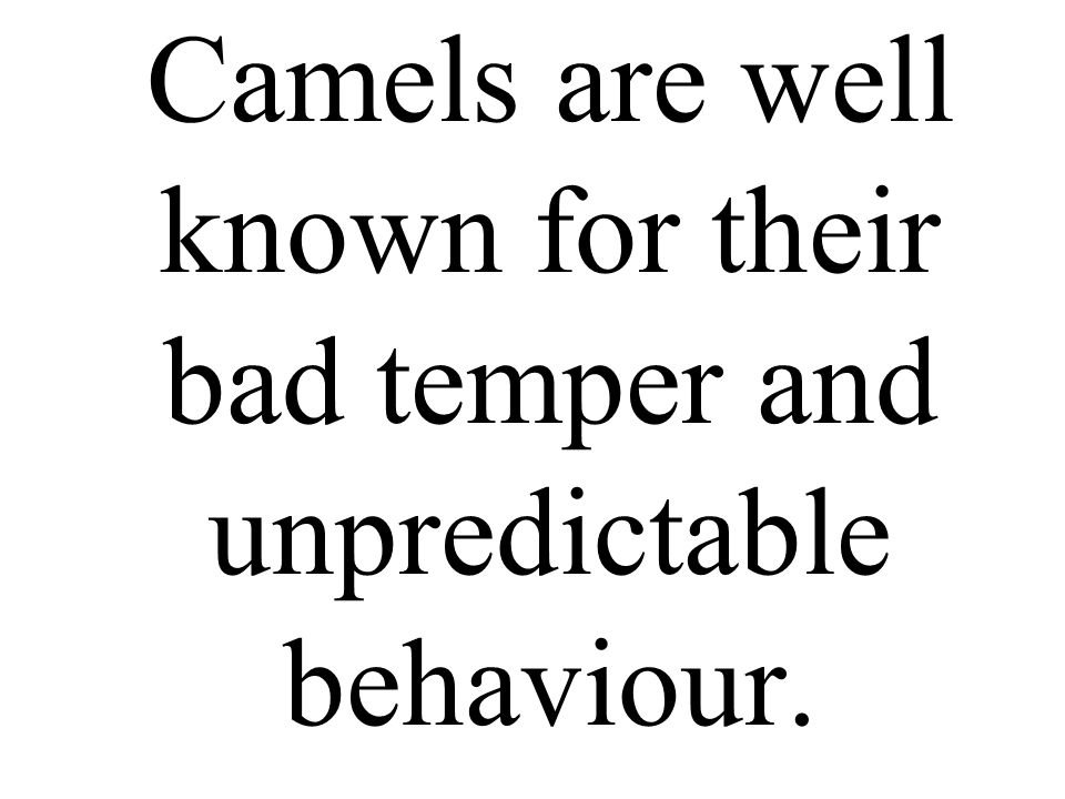 Camels are well known for their bad temper and unpredictable behaviour.