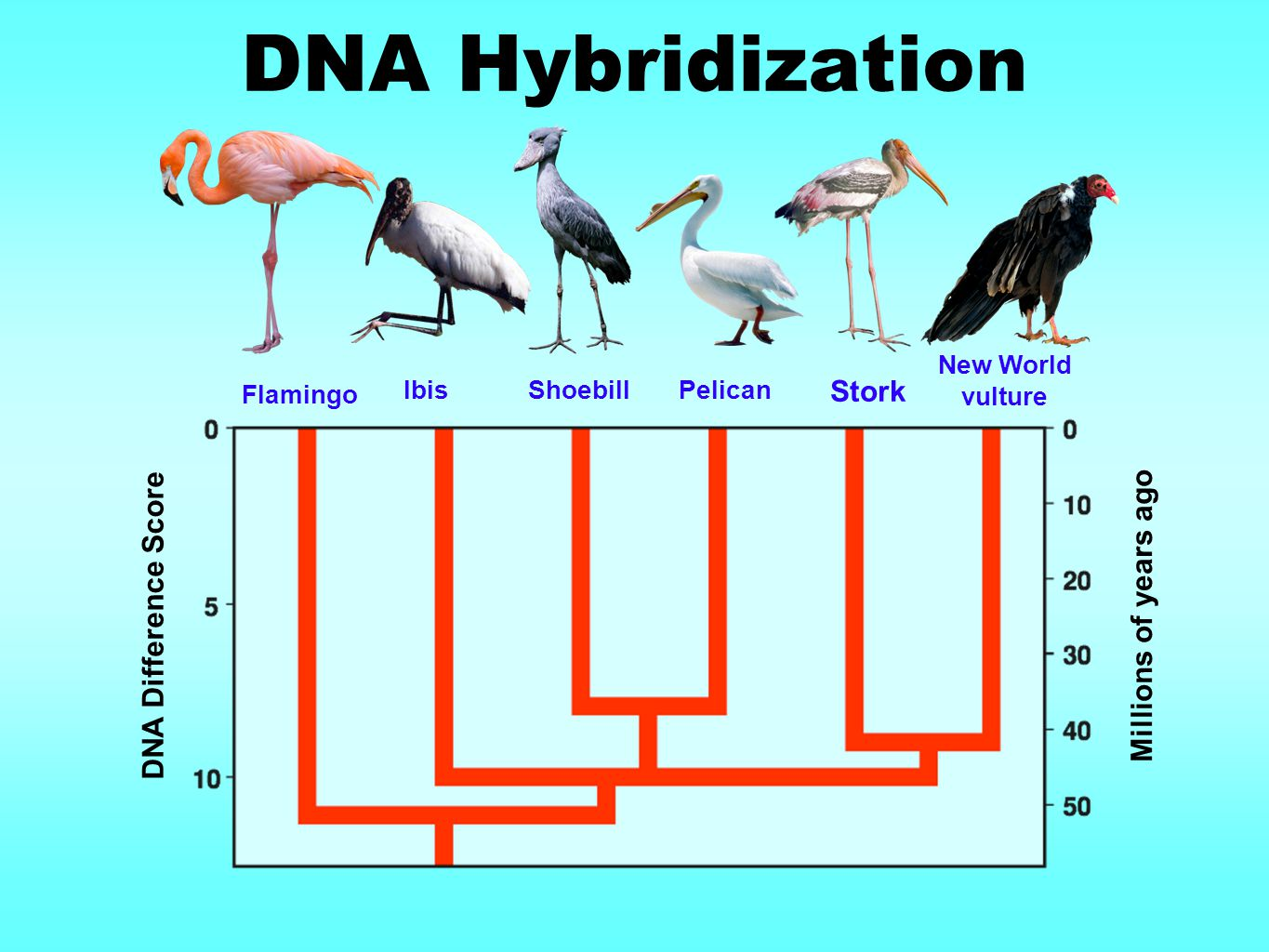 DNA Hybridization Stork Millions of years ago DNA Difference Score