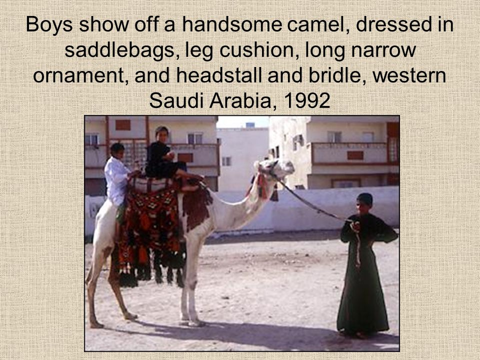 Boys show off a handsome camel, dressed in saddlebags, leg cushion, long narrow ornament, and headstall and bridle, western Saudi Arabia, 1992