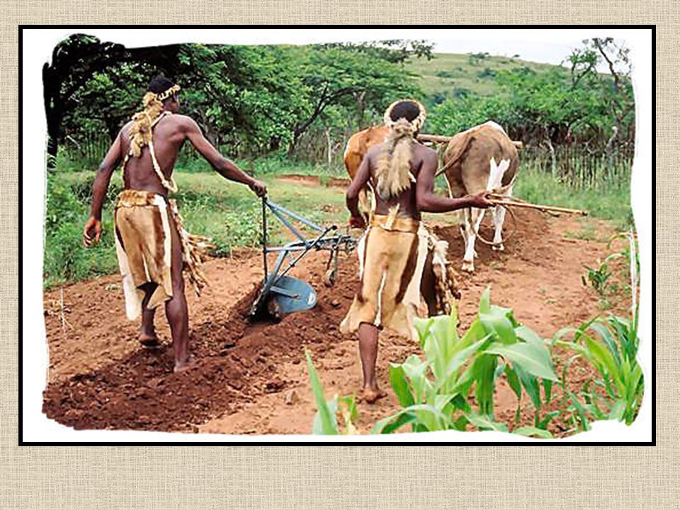 Zulus Plowing Land Like they Did on the Old Days