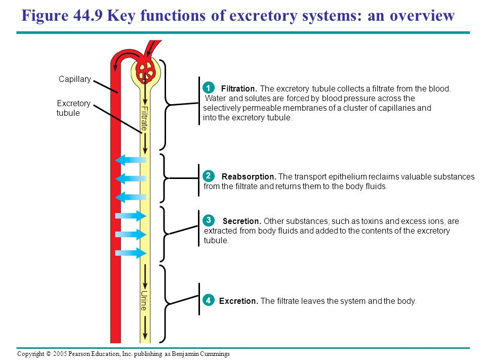 Figure 44.9 Key functions of excretory systems: an overview